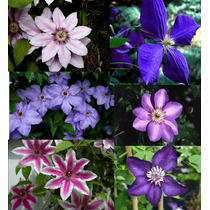 5 Sementes De Clematis - Frete Grátis/orquídea/muda/rosa