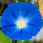 Sementes De Ipoméia Heavenly Blue