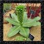 Jacinto Abacaxi - Eucomis - Sementes Flor Para Mudas