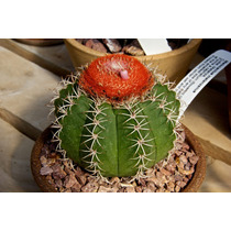 100 Sementes Cactos Coroa De Frade Melocactus Flor Mudas
