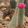 Sementes Cactos Arrojadoa Aureispina Cactus Flor Mudas