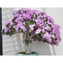 Sementes Bonsai Azalea Rhododendron Maximum Flor P/ Mudas