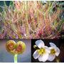 24 Sementes Carnivora-drosera Binata-exótica