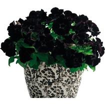 10 Sementes Petúnia Veludo Negro Inglesa Rosa Flor R$15 Fr/g