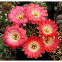 100 Sementes Cactos Lobivia Mix Cactus Flor P/ Mudas Cacto