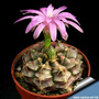 10 Sementes Cactos Gymnocalycium Mix Cactus Flor P/ Mudas