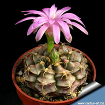 100 Sementes Cactos Gymnocalycium Mix Cactus Flor P/ Mudas