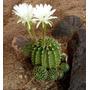 10 Sementes Cactos Echinopsis Mix Cactus Ouriço Flor Mudas