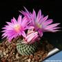 10 Sementes Cactos Turbinicarpus Mix Cactus Flor P/ Mudas