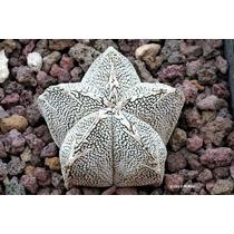 100 Sementes Cactos Astrophytum Mix Cacto Estrela Flor Mudas