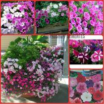 Sementes Da Flor Petunia Anã Sortida Vaso Jardim Fret Gratis