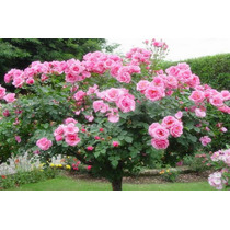 10 Sementes Árvore Rosa Pink Vasos, Jardim E Decoração