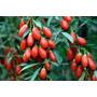 Goji Berry Do Tibet Lycium 60 Sementes Para Mudas + Brinde