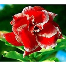 Sementes De Rosa Do Deserto - 10 Sementes.