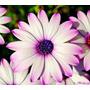 Margarida Do Cabo Sortida Sementes Flor Para Mudas