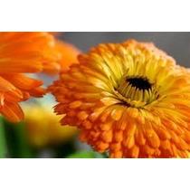Sementes Da Flor Calêndula Medicinal #ltus