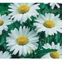 200 Sementes De Margarida Branca Etoile #76lx