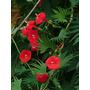 Trepadeira Ipomoea Multifida Cardinal Sementes Flor P/ Mudas