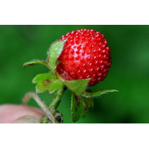 Sementes Falso Morango Duchesnea Indica Fruta Flor P/ Mudas