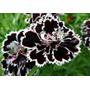 Sementes De Black Carnation - ( Cravo Negro) - Rara E Linda