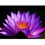 Sementes De Lotus Violeta - Exótico - 2 Sementes