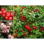 Sementes Fruta Red Mirtilo Vaccinium Vitis Idaea Lingonberry