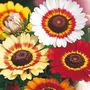 Flor Crisântemo Carinatum 45 Sementes Mista + Brindesss