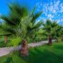 Sementes Palmeira De Leque Washingtonia Robusta P/ Mudas