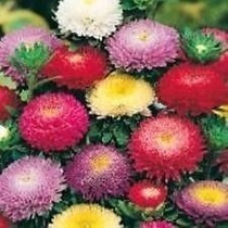 Sementes Flor Rainha Margarida Pompom Sortida #xex2
