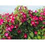 Ipomoea Scarlet Ohara Morning Glory Flor Trepadeira Sementes