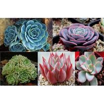 5 Sementes De Lithops - Frete Grátis Rosa/orquídea/raras