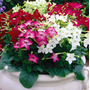Nicotiana Anã Sortida Flor Perfumada Sementes Para Mudas