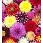10 Bulbos Cores E Tipos Variados Da Linda Flor Dalia