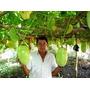 Sementes Maracuja Gigante - Passiflora Gigante 500 Sementes