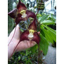 Sementes De Orquídea Cara De Macaco Sortidas - 10 Sementes