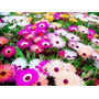 1000 Sementes Da Flor Ficóide Tapete Mágico #29xk