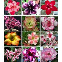 12 Sementes De Rosa Do Deserto - Frete Grátis/kit 4/orquídea