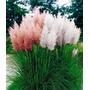Sementes Capim Dos Pampas Grass Cortaderia Branca E Pink