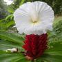 Sementes Flor Costus Speciosus Flor Nativa Da Índia P/ Muda
