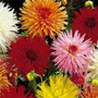 Sementes De Dalia Cactus Importada!