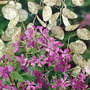 Lunaria Biennis - Planta Dinheiro Sementes Flor Para Mudas