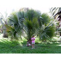 Sementes Palmeira Sabal Das Bermudas Bermudan P/ Mudas