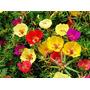 1100 Sementes Da Flor Onze Horas Portulaca+frete Gratis