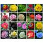 Kit 100 Sementes Rosas Exoticas E Coloridas - 20 Cores
