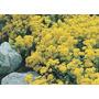 Sementes De Flor Alyssum Corbeille #xaur