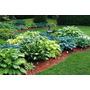 Hosta Mixed ( Planta Para Sombra) - Sementes Flor P/ Mudas