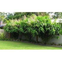 Bambu Mini / Capim Tigre - Sementes Flor Para Mudas
