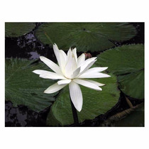 Lotus-peluda (nymphaea Pubescens) 1000 Und Manual De Cultivo