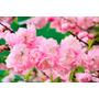 Sementes Flor Cerejeira Prunus Amygdalus Triloba P/ Mudas