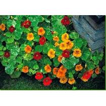 Sementes De Flor Capuchinha Anã Sortida Topseed 100g Jardim